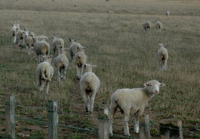 Nova Zelândia, o país das ovelhas