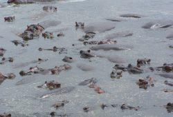 Café-da-manhã com hipopótamos