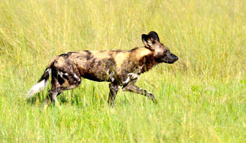 Os Cães Selvagens, um dos símbolos do Delta do Okavango
