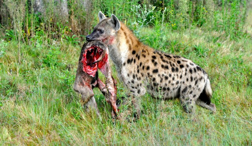 O Leopardo e a Hiena