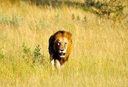 O Grande Leão