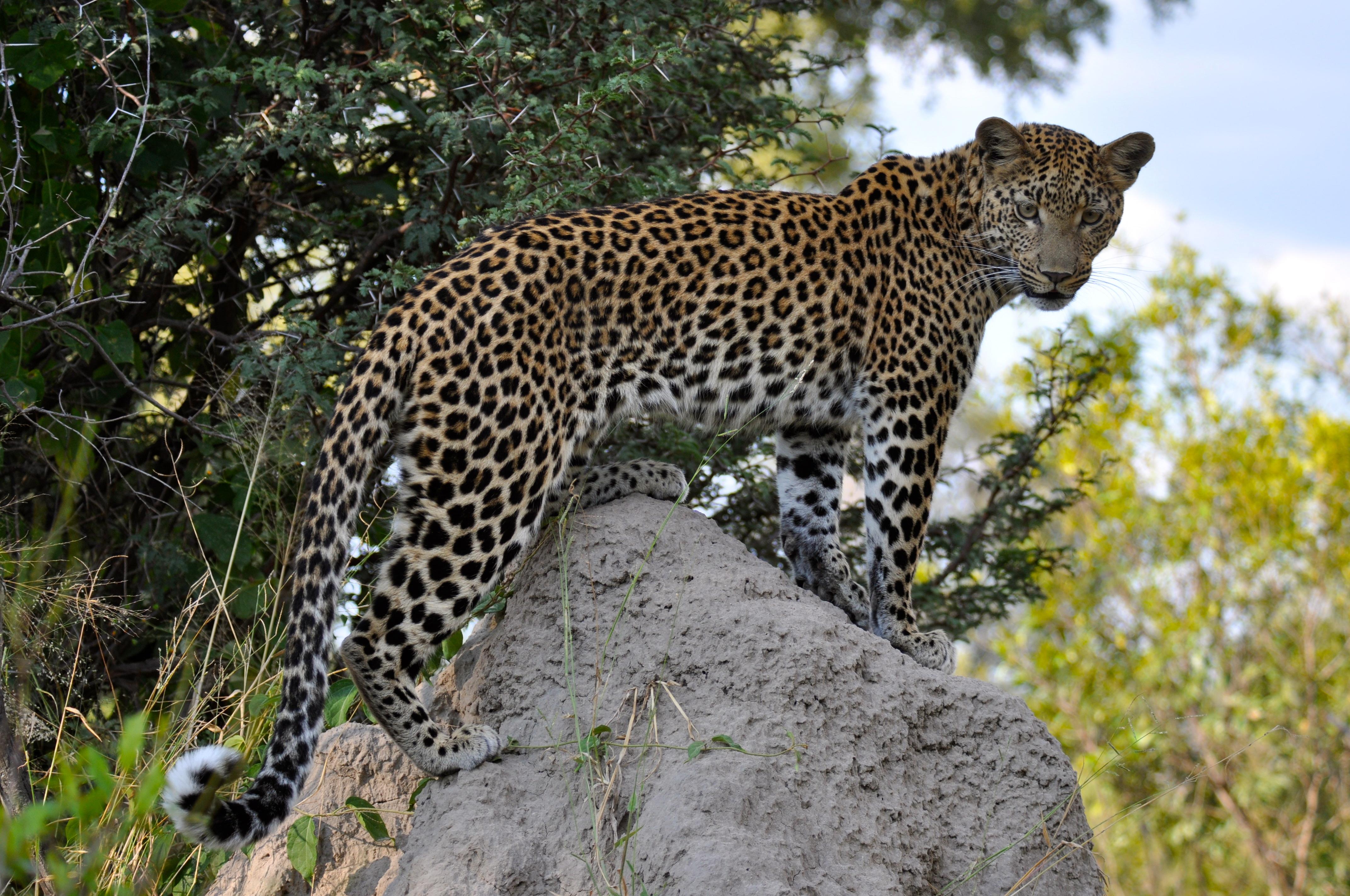 O Leopardo e o Esquilo