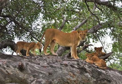 Leões e Elefantes, as fêmeas protegem os filhotes
