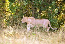 A caçada da Leoa