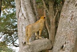 Leões e Babuínos