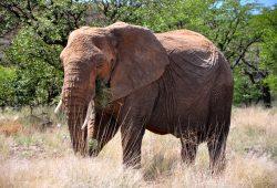 Os Elefantes do Deserto
