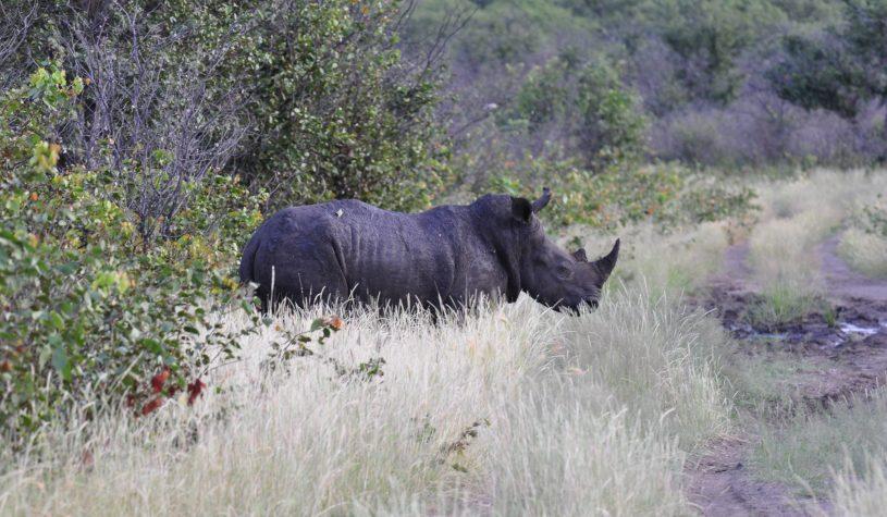 "Rinocerontes, completamos o ""Big Five"""