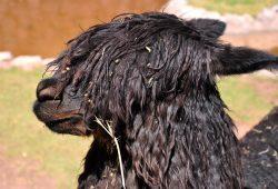 Lhamas, alpacas, guanacos e vicunha: Os camelos dos Andes