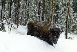 Tempestade de neve no Yellowstone