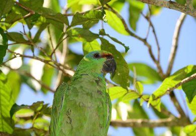 Algumas aves e pássaros da Amazônia