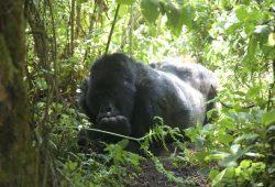 O encontro com os Gorilas das Montanhas