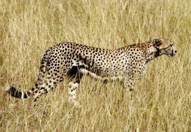O guepardo e os gnus