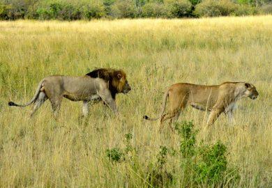 Presas e predadores no Quênia