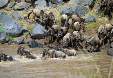 A Grande Travessia dos Gnus no Rio Mara, no Quênia