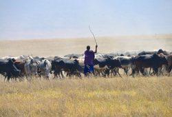 Os leões e os Masai