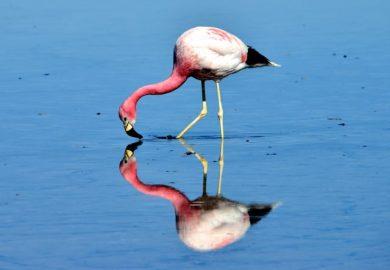 A Lagoa Chaxa e os flamingos do Atacama