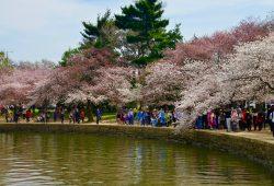 O Festival das Cerejeiras de Washington